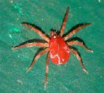 Spider Mite Close Up